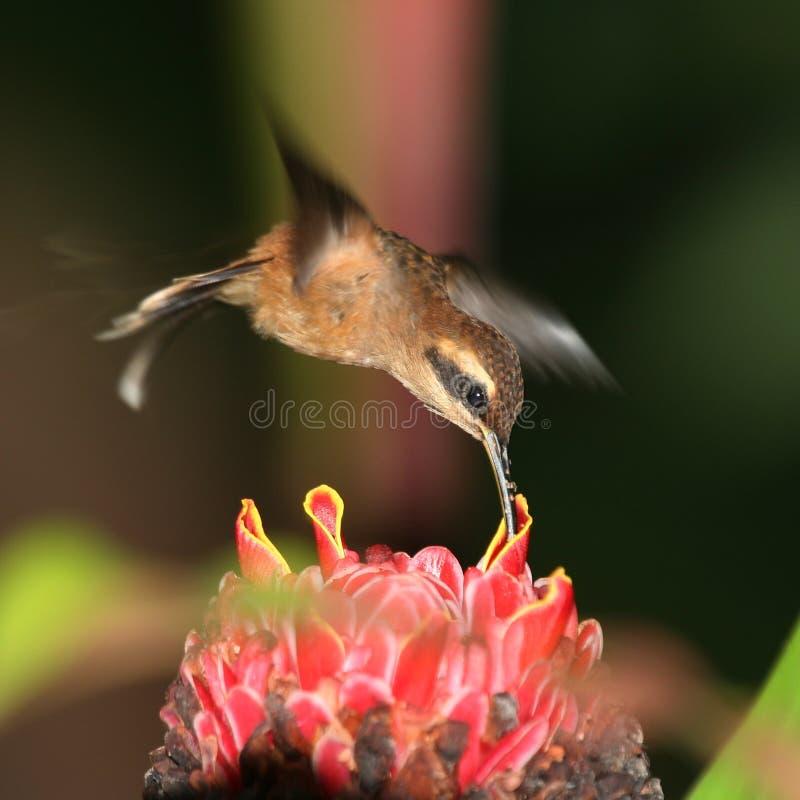 Hummingbird 3 stock images