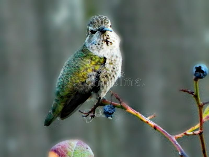 hummingbird immagini stock