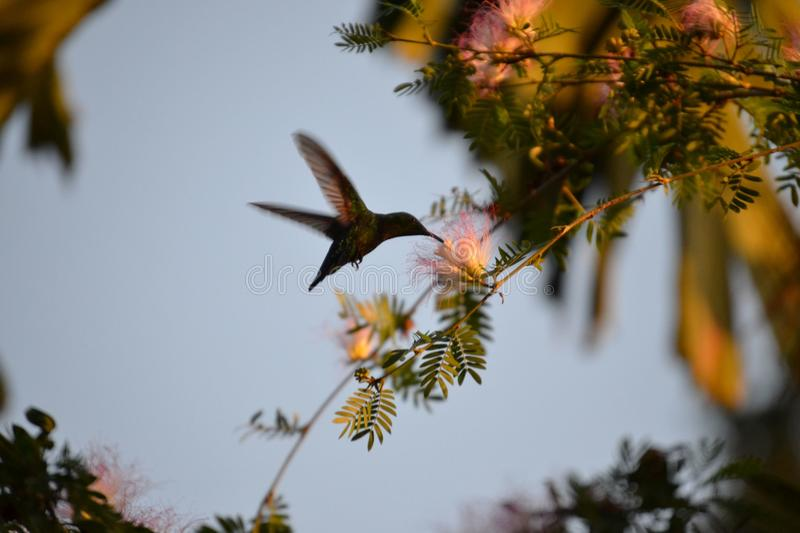 hummingbird obrazy stock
