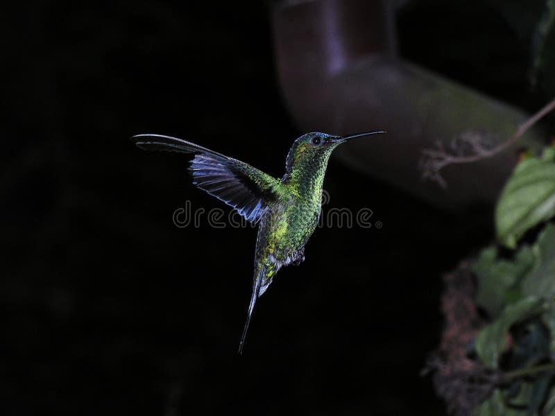 Download Hummingbird arkivfoto. Bild av trädgård, hummingbird, frö - 513142