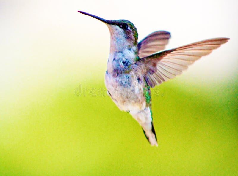 hummingbird foto de stock