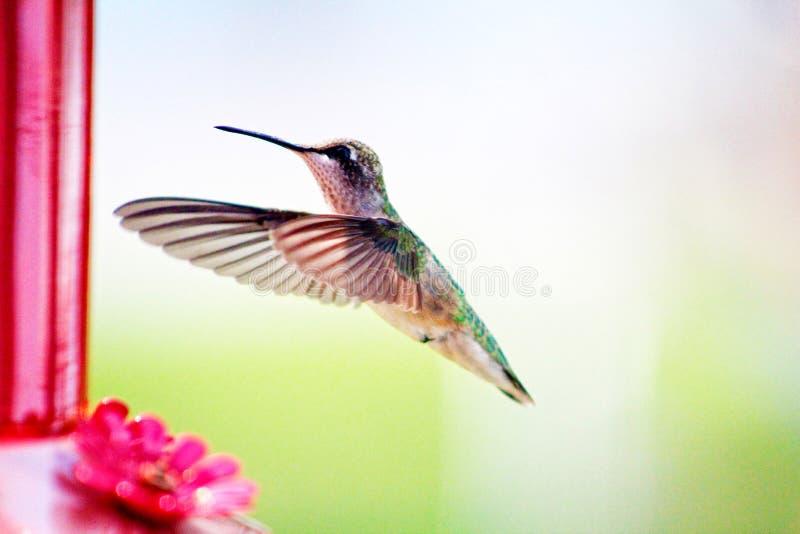 hummingbird imagem de stock