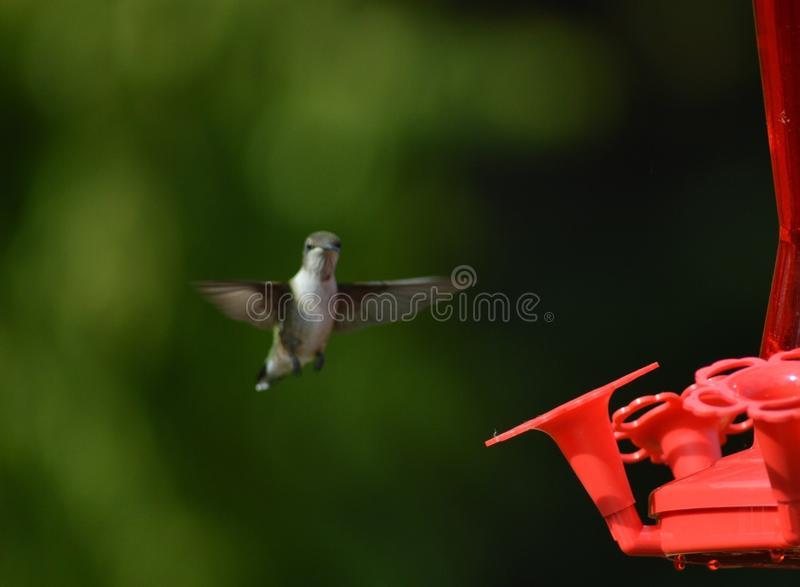 hummingbird fotografia royalty free