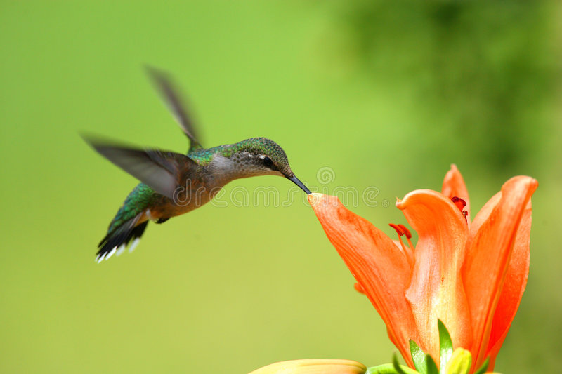 Hummingbird. Taken at during mid-flight