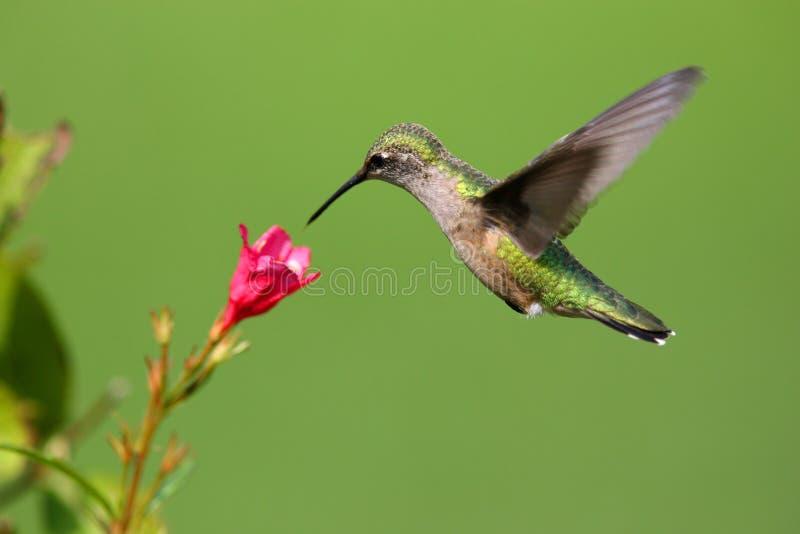 Hummingbird. Taken at during mid-flight stock images