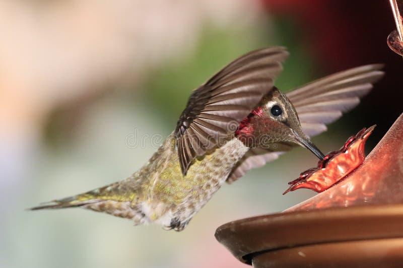 hummingbird zdjęcia stock