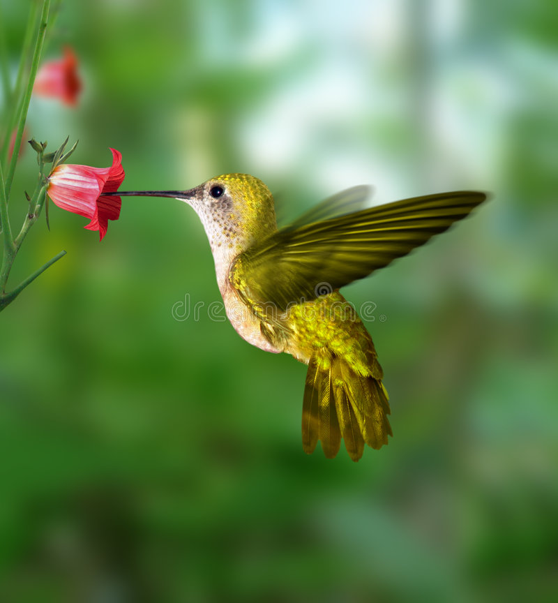 Hummingbird. Flying taken the nectar from the flower