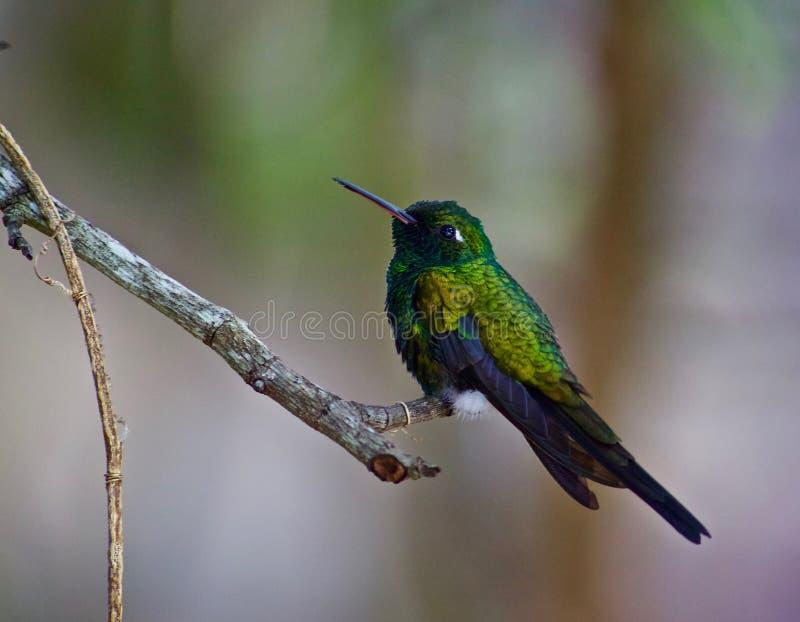 hummingbird fotografia de stock