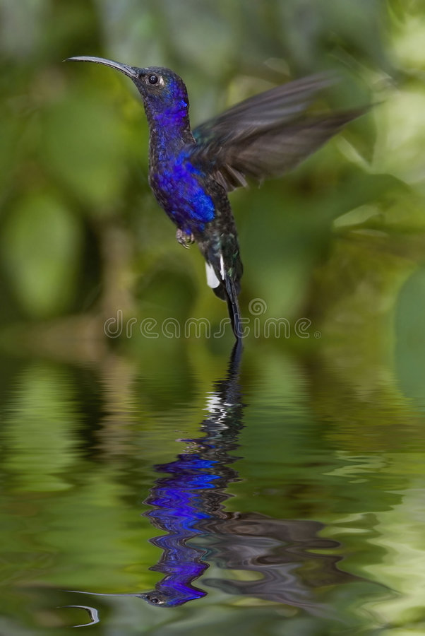 Hummingbird. Hover with reflection, Costa Rica