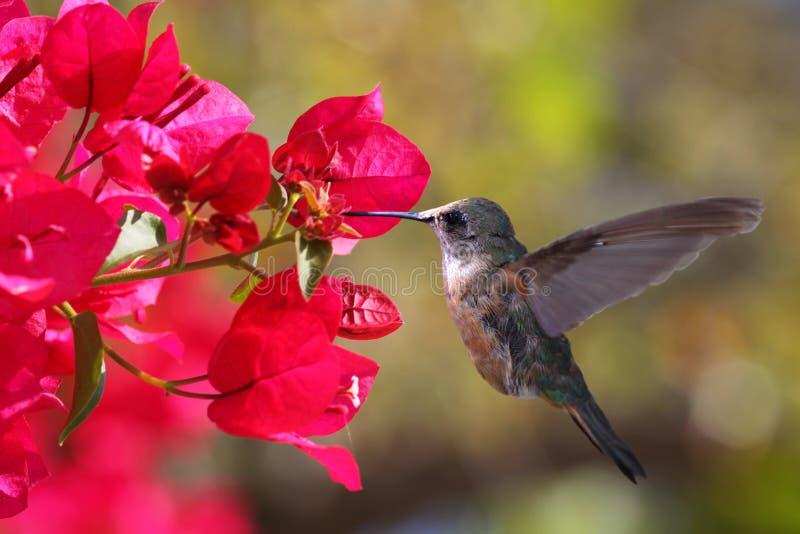 Hummingbird stock photo