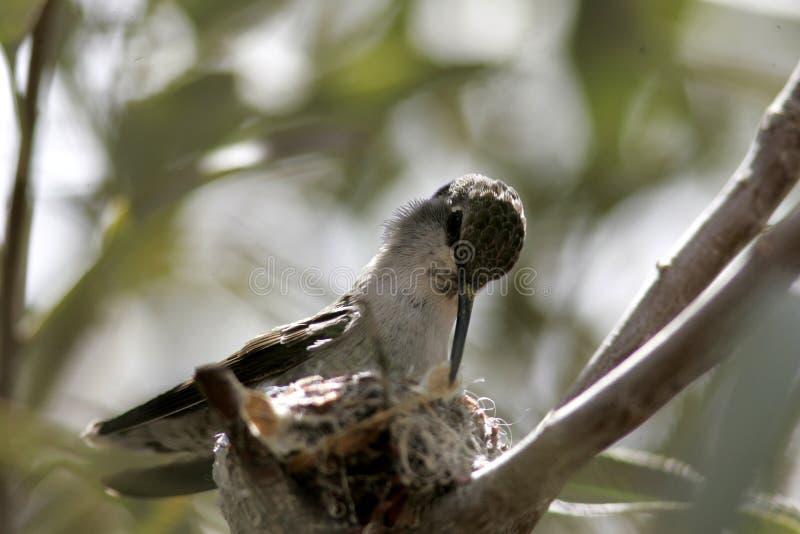 hummingbird foto de archivo libre de regalías