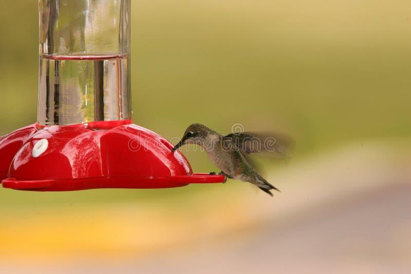 hummingbird imagen de archivo libre de regalías