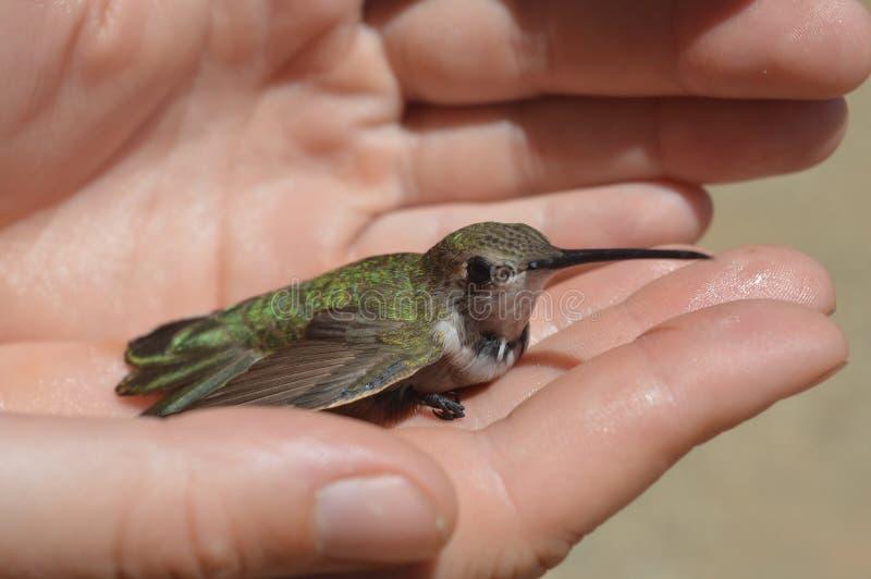 hummingbird arkivbild