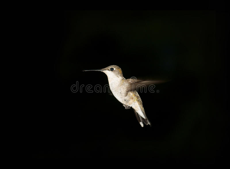 Download Hummingbird Against Dark Background Stock Image - Image of wings, hummingbird: 20435849