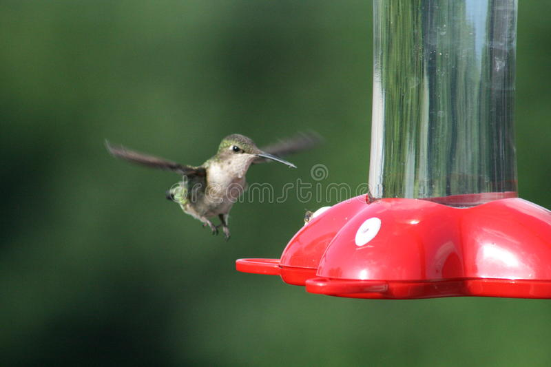 Hummingbird Approach Royalty Free Stock Photos