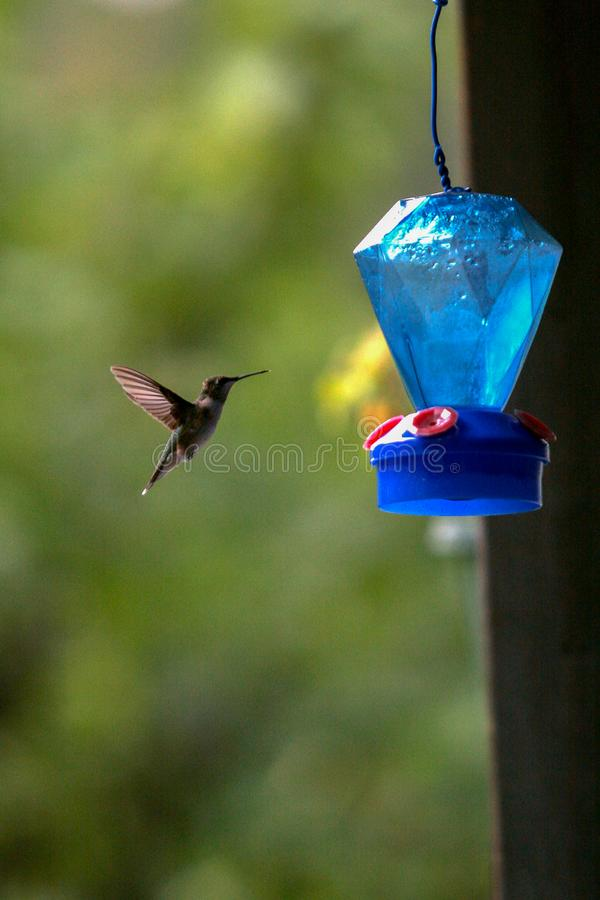 Hummingbird approaching feeder with outstretched wings. Hummingbird approaching blue nectar feeder with outstretched wings on a sunny day royalty free stock photo