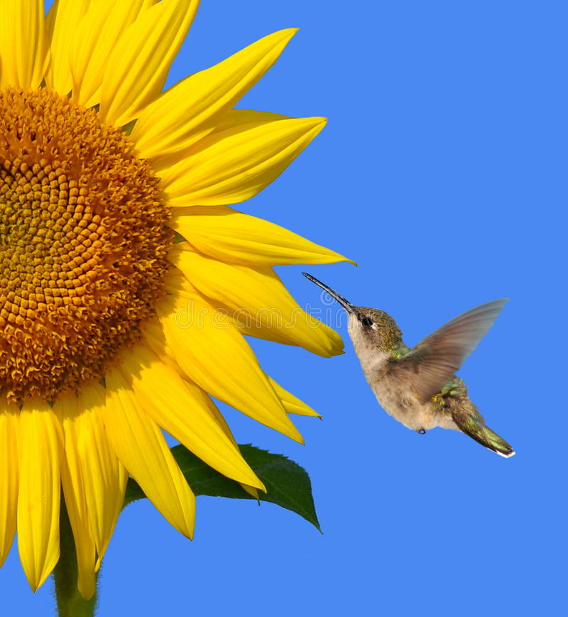 Free Hummingbird At A Sunflower Stock Photos - 23744673