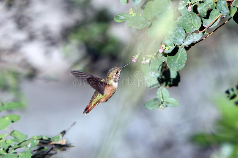 Hummingbird in BC royalty free stock images