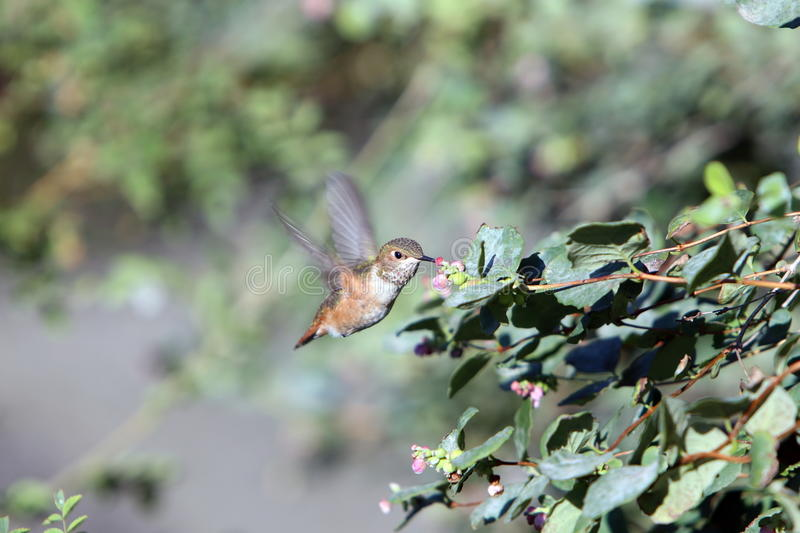 Hummingbird in BC royalty free stock photo