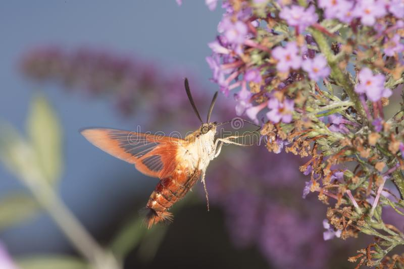 Hummingbird clearwing hawk moth hovering near butterfly bush flo stock images