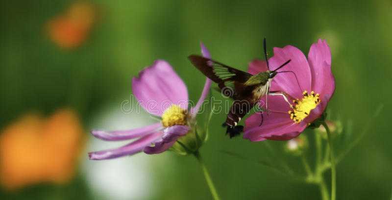 Hummingbird Clearwing Moth Feeding on Flowers. A beautiful green and ruby colored Hummingbird Clearwing Moth feeding on some colorful purple poppies stock photography