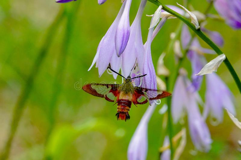 Hummingbird Clearwing Moth Hemaris thysbe. Feeding on nectar from the flowers of a hosta plant stock photography