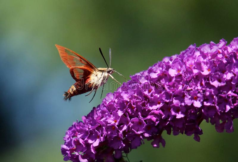 Hummingbird Clearwing Moth. View of Hummingbird Clearwing Moth flying near Butterfly Bush stock photography