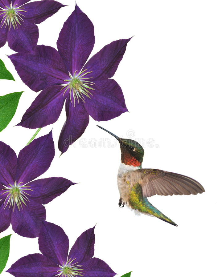 Hummingbird At Clematis Flowers. A male Ruby- throated Hummingbird (Archilochus colubris) at purple Jackmanii Clematis flowers, isolated on a white background stock illustration