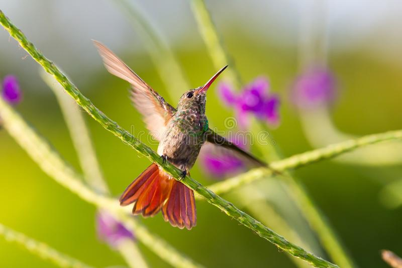 Hummingbird, Colibri thalassinus, beautiful green blue hummingbird from Central America hovering in front of flower background in stock images