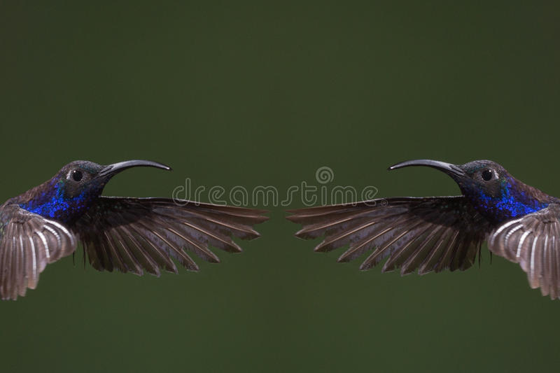 Download Hummingbird Collage stock image. Image of towards, constitute - 97425993
