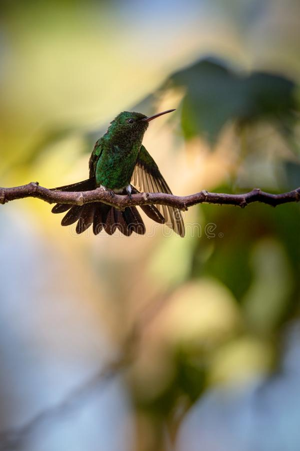 Hummingbird Copper-rumped Hummingbird sitting on branch, bird from caribean tropical forest, Trinidad and Tobago. Beautiful tiny hummingbird, exotic adventure stock photo