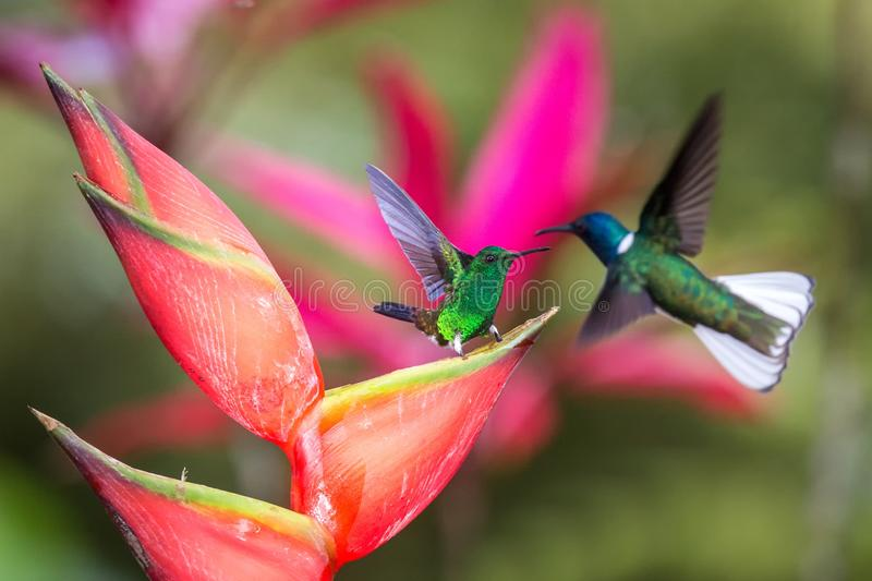 Hummingbird Copper-rumped Hummingbird and white-necked jacobin fighting on red flower. , green background. Wildlife scene from nature, exotic adventure in stock photos