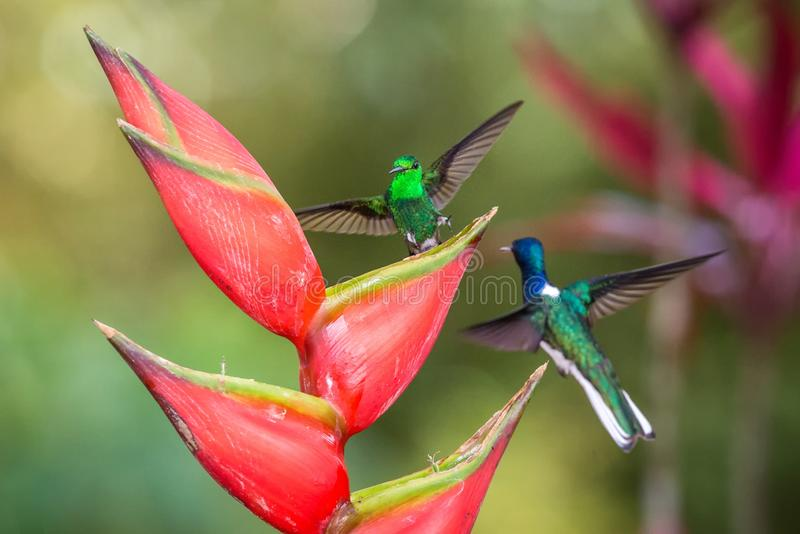 Hummingbird Copper-rumped Hummingbird and white-necked jacobin fighting on red flower. , green background. Wildlife scene from nature, exotic adventure in royalty free stock image