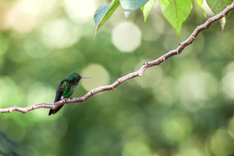Hummingbird Copper-rumped Hummingbird sitting on branch, bird from caribean tropical forest, Trinidad and Tobago. Beautiful tiny hummingbird, exotic adventure royalty free stock images