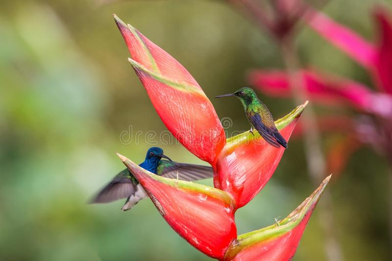 Hummingbird Copper-rumped Hummingbird sitting on red flower and second bird hovering next to it. Cute tiny bird perching. On big blossom, green background royalty free stock photography