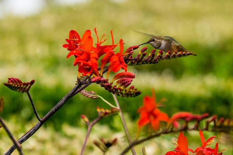 Hummingbird czerwony kwiat obrazy stock