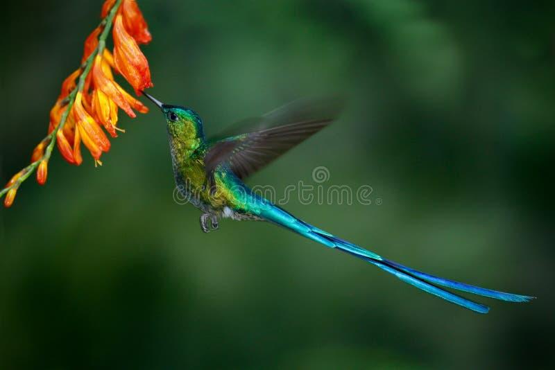 Hummingbird Długoogonkowa sylfida z długiego błękitnego ogonu żywieniowym nektarem od pomarańczowego kwiatu fotografia stock