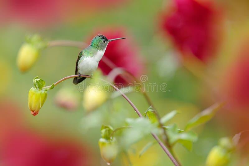 Hummingbird da Colômbia Andean Emerald, Amazilia franciae, com flor vermelha rosa, fundo verde claro, Colômbia Vida selvagem imagens de stock royalty free
