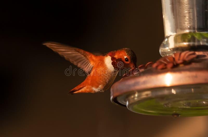 Hummingbird dichtbij kijkend naar jou royalty-vrije stock afbeelding