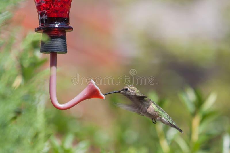 Hummingbird drinking royalty free stock photos