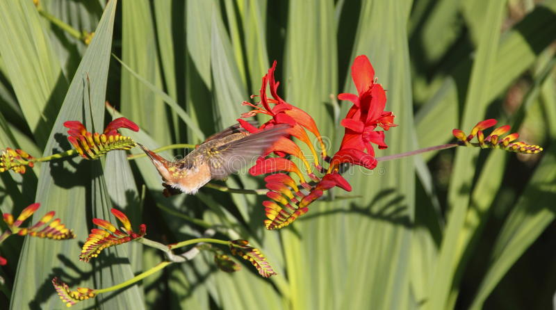 Hummingbird Extracts Nectar. A Hummingbird reaches deep into a Crocosmias pistil to extract nectar stock photo