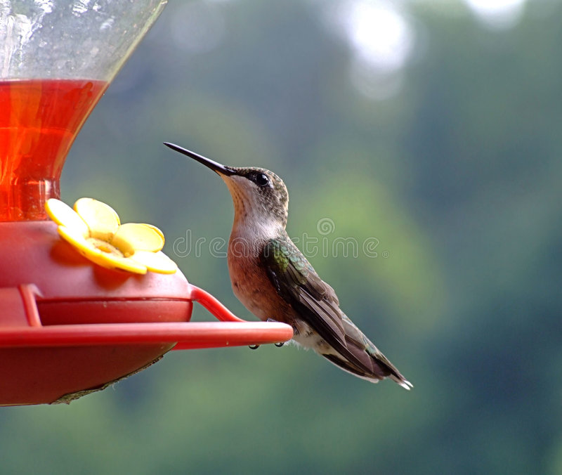 Hummingbird at Feeder stock image