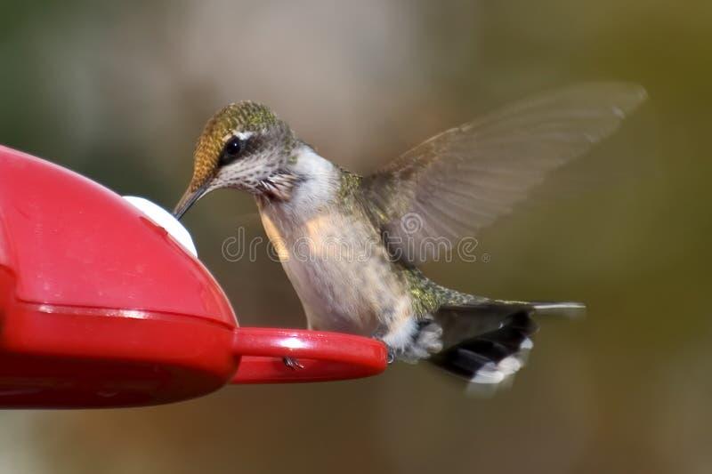Hummingbird on feeder stock image