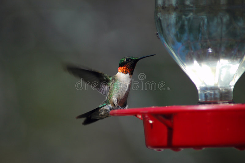 Download Hummingbird at the feeder stock photo. Image of feet, hummingbird - 241052