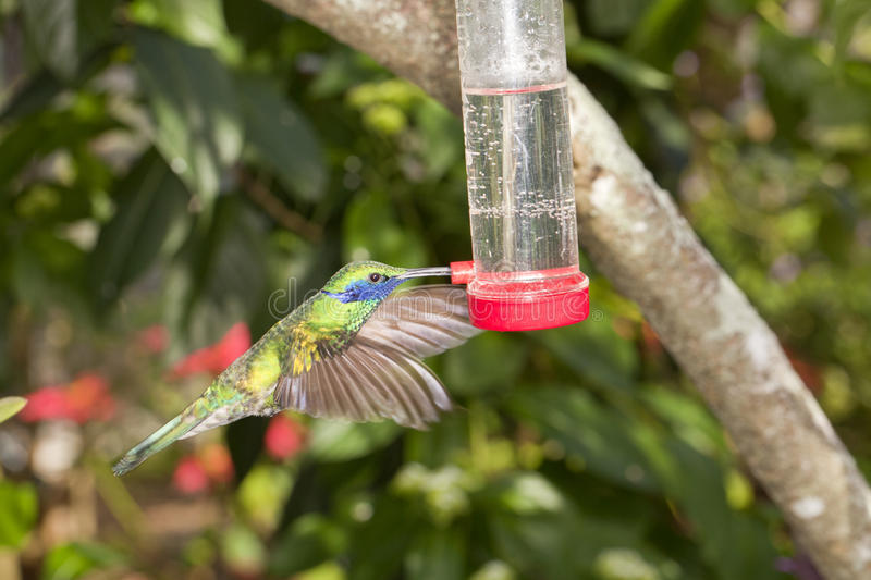 Download Hummingbird at Feeder stock image. Image of blurred, outdoors - 28596783