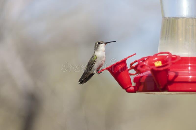 Download Hummingbird at Feeder stock image. Image of fast, fauna - 29072627