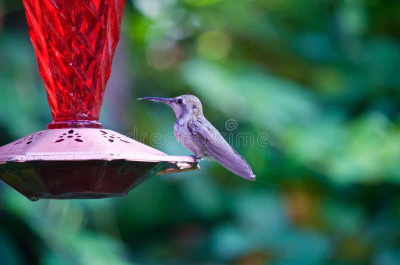 Hummingbird on a feeder stock photos