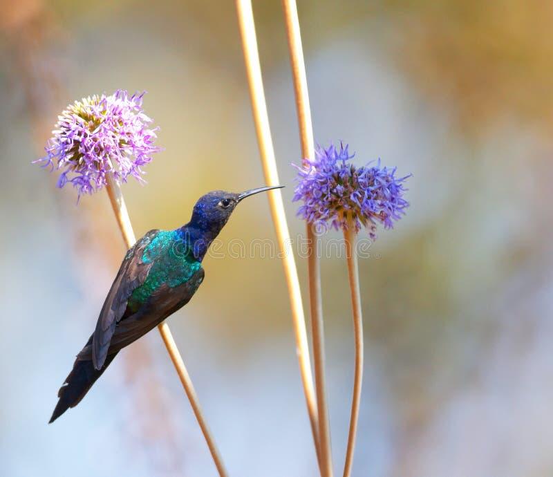 Hummingbird feeding on the flower 2 stock images