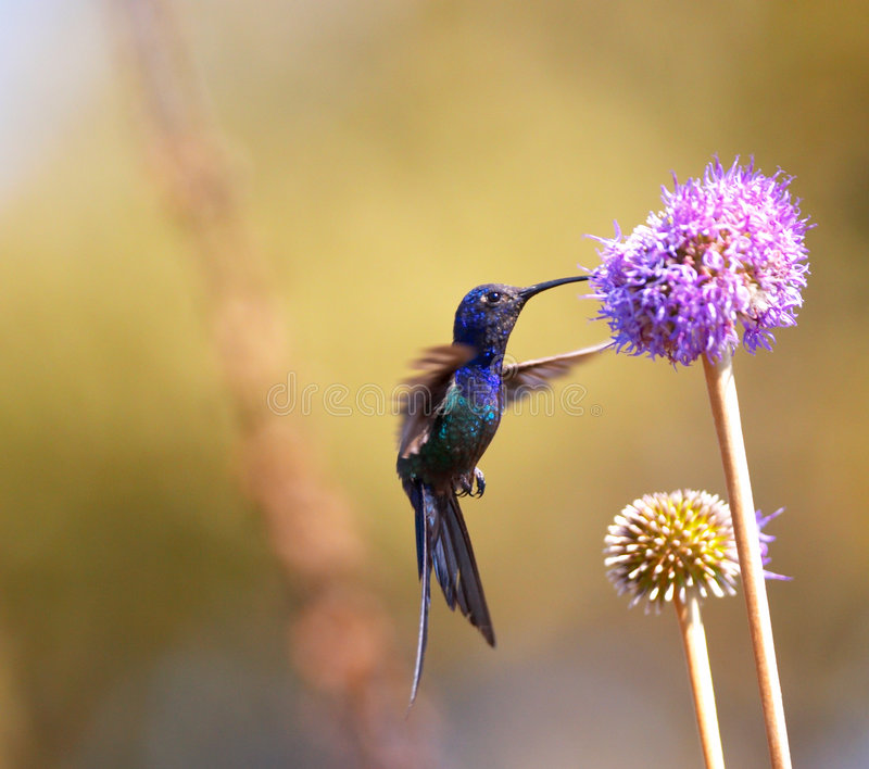 Hummingbird feeding on the flower. Hummingbird feeding