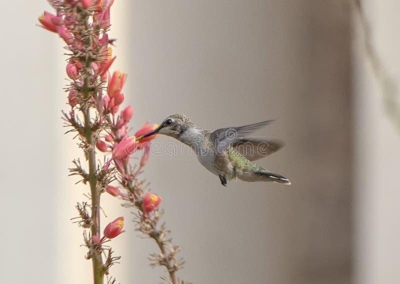 Hummingbird feeding at a flower, Hall Park, Frisco, Texas royalty free stock photos